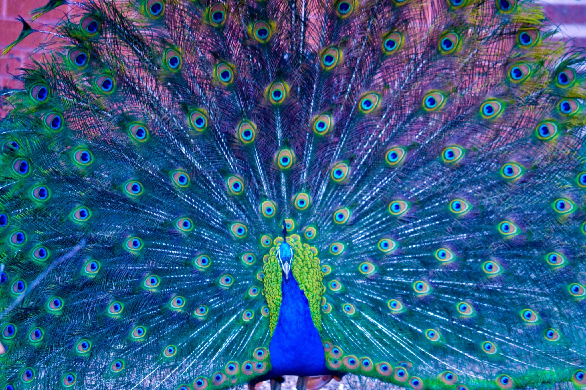 peacocks in Winter Park Florida