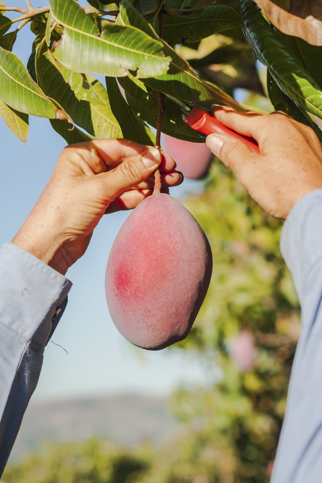 Top Mango Picking Spots In Orlando